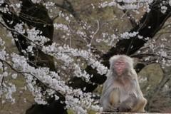 桜の木の下で瞑想する猿