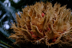 蘇鉄の雌花と赤い実