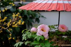 和傘と牡丹