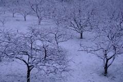 もうすぐ4月の東京に雪が降る
