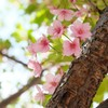 散り際の桜