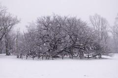 大島桜に降る雪