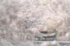 さくら、さくらまた桜