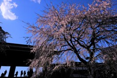 枝垂桜満開♪