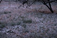 桜開花宣言の日に降る雪