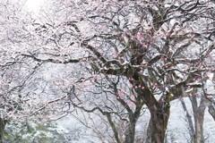 紅梅に降る雪