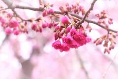 八重寒緋桜