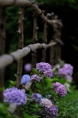 垣根越しの紫陽花
