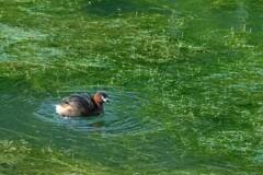ツツイトモの中を泳ぐカイツブリ