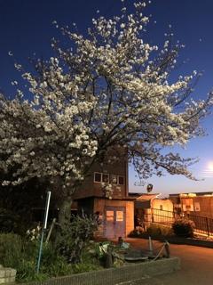 こんな時でも桜は咲いて・・・