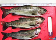 五ヶ瀬川中流域での釣果