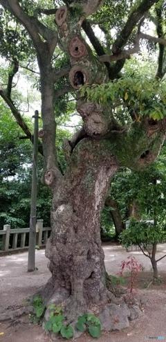 宮地嶽神社 とある木
