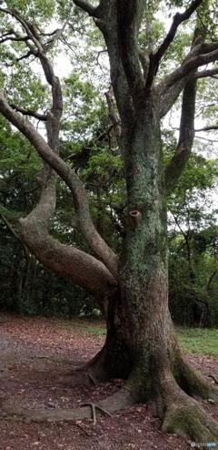高宮祭場 とある木