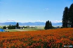コスモス畑と田園風景
