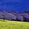 赤城南面千本桜7 青ピンク黄色