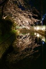 高崎城址 お堀 夜桜