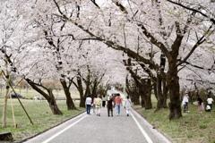 赤城南面千本桜4 〜花見家族〜