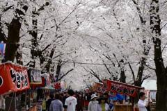 赤城南面千本桜2