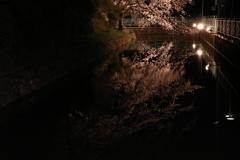 高崎城址 お堀 夜桜2