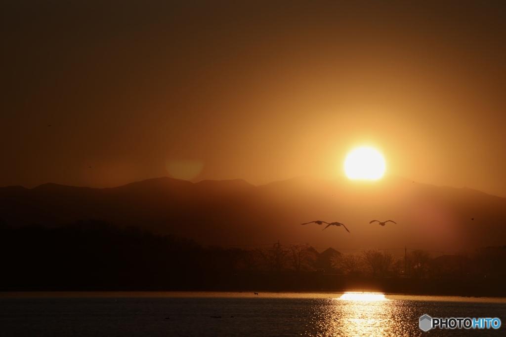 夕陽の方に去る白鳥