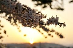夕陽浴びる桜