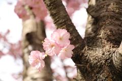 赤城南面千本桜6