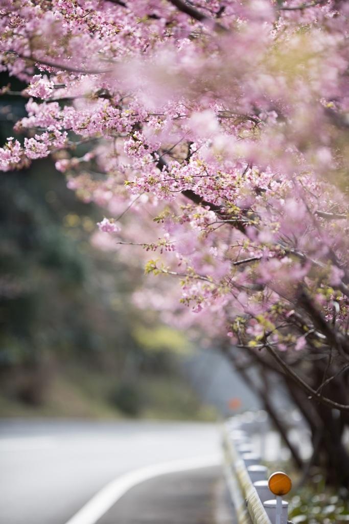 大分の河津桜