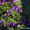 すみれ色の春