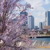 早咲き桜とみなとみらい