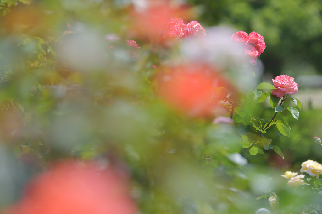 初めての薔薇