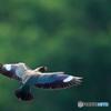 ブッポウソウの飛翔①