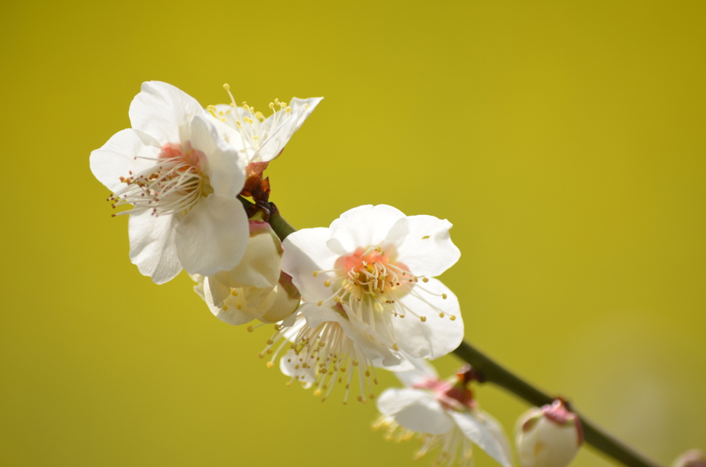 白梅と菜の花と (^'^)