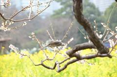 白梅と菜の花と (^^♪
