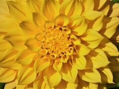 川西ダリア園④ 「太陽」