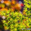 秋の青紅葉
