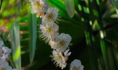 日陰に咲く白梅