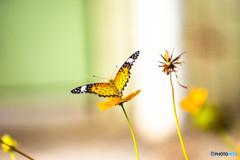 華麗なる蝶