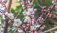 満開を迎える梅ノ木