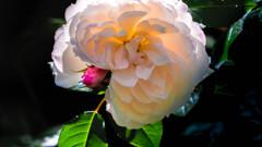 逆光の中のバラ