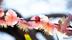 逆光に輝く梅花