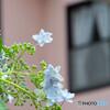 アジサイの咲くころ