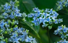 小さなガクアジサイの花