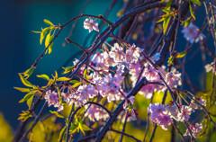 夕日の中に映える枝垂桜