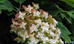 カシワバ紫陽花