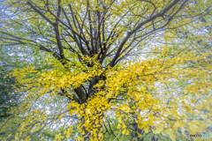 秋彩の大銀杏