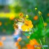 蝶とキバナコスモス