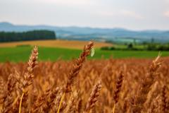 赤麦の穂と蜻蛉