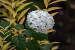 秋の白い紫陽花