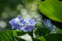 秋桜が終わる頃咲き始める紫陽花