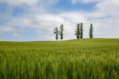初夏の青い麦